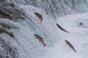 saumon d'Ecosse
